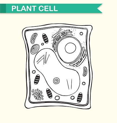Labeled plant cell diagram black and white