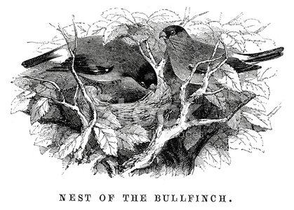 Old-fashioned,Bird,Ilustration,Bird's Nest,Engraved Image,Antique,Victorian Style,Image Created 19th Century,Branch,Animal Nest,19th Century Style,Woodcut,Finch,Animal Creation,Plant Part,Twig,Animal Attribute,Animals And Pets,Wild Animals,Black And White,Living Organism,Illustrations And Vector Art,Animal,The Natural World,Birds,Vertebrate,Print,Styles,Bullfinch,Old