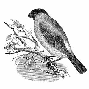 Bird,Old-fashioned,Engraving,Retro Revival,19th Century Style,Drawing - Art Product,Bullfinch,Sketch,Ilustration,Black And White,Bird Watching,Engraved Image,Obsolete,Paper,Cultures,Pencil Drawing,Victorian Style,Isolated On White,Art,Nature,Print,Old,Classical Style,Common,Aging Process,Common Bullfinch,Eurasian Ethnicity,Book,Finch,Eurasian Bullfinch,Document,Zoology,Animal,Antique,Printout,Painted Image,Isolated,Publication,Science,History,Newspaper