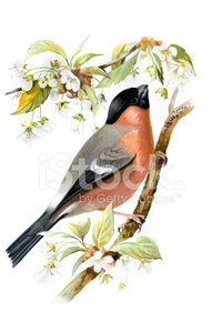 Finch,Ilustration,Cherry Blossom,Bullfinch,Lithograph,Paintings,Bird,Print,Image Created 19th Century,Old World Bullfinch,Nature,Wildlife,Old,Tree,Plate,Victorian Style,Arts And Entertainment,chromolithograph,Painted Image,Antique,Color Image,Art,Photography,Perching,Animals And Pets,public domain,Birds
