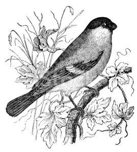 Bird,Sketch,Animal,Pencil Drawing,Drawing - Art Product,Ilustration,Finch,Cultures,Isolated,Old World Bullfinch,Eurasian Bullfinch,Old-fashioned,Victorian Style,Art,Engraving,Bullfinch,Print,Classical Style,History,Antique,Book,Black And White,Common,Isolated On White,Eurasian Ethnicity,Old,Retro Revival,Engraved Image,Obsolete,Painted Image,19th Century Style,Common Bullfinch