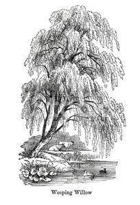 Weeping Willow Tree Black And White Tattoo Weeping Willow Tree st...