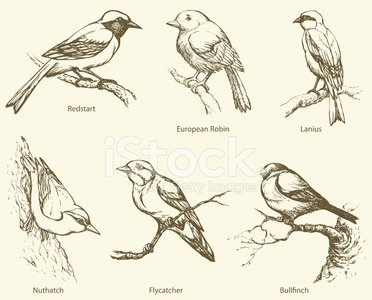 lanius,Gold Finch,Flycatcher,Robin,Small,Muscicapidae,Warbler,ochruros,Nightingale,Engraved Image,Ilustration,Paintings,Zonotrichia,Perching,Animals In The Wild,rubecula,Pencil Drawing,Sitta,Treecreeper,phoenicurus,Zoology,Bird,Bullfinch,Silhouette,Animal,Candid,Nuthatch,Young Bird,montanus,Outline,Contour Drawing,Shrikes,Wildlife,Redstart,Vector,Sittidae,Doodle,Drawing - Art Product,Thrush - Bird,Passerine