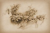 Pencil Drawing,Ilustration,Leaf,Sepia Toned,Flower,Nature,Old-fashioned,Sketch,Bush,Herb,Plant,Nature,Plants,Image,Arts And Entertainment,Visual Art,Brown,Paper,Ancient,Horizontal