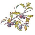 Square,No People,Art,Watercolor Paints,Art And Craft,Berry,Botany,Illustration