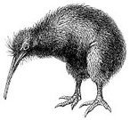 Kiwi Bird,Bird,Antique,Ilustration,Animal,New Zealand,Engraved Image,Engraving,Old-fashioned,Obsolete,Old,Photograph,Image,Design,Art,Line Art,Isolated,Paintings,Cut Out,Wildlife,White,Image Created 19th Century,Classic,Black And White,Painted Image,Animals In The Wild,Studio Shot,National Landmark,Isolated On White,Backgrounds,Animals And Pets,Travel Locations,Close-up,Birds,White Background,ratite,No People,flightless,Beak,Vertical,Image Date,Night,High Contrast,Cultures