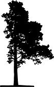 Pine Tree,Tree,Vector,White,Tall,Black Color,Coniferous Tree,Autumn,Branch,Large,Backgrounds,Springtime,Ilustration,Isolated,Tracing,Illustrations And Vector Art,Season,Beautiful,Remote,Summer