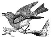 Bird,Victorian Style,Engraving,Engraved Image,Animal,Ilustration,Bluebird,Old-fashioned,Retro Revival,Antique,Flying,Branch,Wing,Clip Art,Feather,Line Art,Photograph,Image,Animals In The Wild,Paintings,Design,Black And White,No People,Horizontal,Old,Wildlife,Design Element,Side View,Illustrations And Vector Art,Cut Out,Animals And Pets,White Background,Close-up,High Contrast,Classic,Image Created 19th Century,Studio Shot,Isolated On White,Beak,Birds
