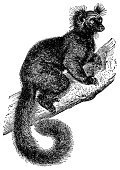 Engraved Image,Engraving,Ilustration,Lemur,Antique,Animal,Clip Art,Old-fashioned,Line Art,Horizontal,High Contrast,Image,Primate,Fur,Black And White,Design Element,Animals And Pets,Paintings,Cut Out,Victorian Style,Old,Wildlife,Side View,No People,Retro Revival,Image Created 19th Century,Design,Isolated On White,White Background,Studio Shot,Mammal,Illustrations And Vector Art,Animals In The Wild,Tail,Close-up,Classic