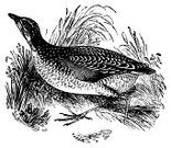 Corncrake,Line Art,Ilustration,Antique,Bird,Victorian Style,Paintings,Retro Revival,Old-fashioned,Engraving,Design Element,Wildlife,Photograph,Animal,Horizontal,Studio Shot,Old,Flying,High Contrast,Black And White,Image,Birds,Animals And Pets,Clip Art,Feather,Wing,Beak,Classic,Animals In The Wild,Isolated On White,Illustrations And Vector Art,Landrail,Side View,Close-up,Image Created 19th Century,Engraved Image,No People,White Background,Cut Out