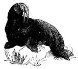 Walrus,Ilustration,Antique,Animal,Black And White,Victorian Style,Engraving,Clip Art,Line Art,No People,Classic,Illustrations And Vector Art,Retro Revival,Engraved Image,Animals In The Wild,Mammal,Isolated On White,Image Created 19th Century,Side View,Studio Shot,Close-up,White Background,Horizontal,Cut Out,Photograph,Paintings,Sea,Animals And Pets,Tusk,Old-fashioned,Image,Design Element,High Contrast,Wildlife,Old,Wild Animals