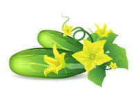 Cucumber,Vegetable,Flower,Leaf,Vector,Freshness,Food,Isolated,Yellow,Vegetarian Food,Ingredient,Isolated-Background Objects,Green Color,Meal,Fruits And Vegetables,Isolated Objects,Illustrations And Vector Art,Food And Drink,Isolated On White,Ripe