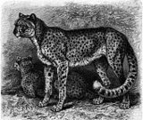 Big Cat,Animals In The Wild,Animal,Undomesticated Cat,Savannah,Old-fashioned,Horizontal,Leopard,Animal Behavior,African Leopard,Photography,Obsolete,Cute,Stealth,African Culture,Cheetah,Beauty In Nature,Beauty,Danger,Safari Animals,Animals Hunting,Africa,Nature,Engraved Image,Animal Wildlife,No People
