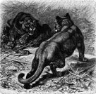Mountain Lion,Engraved Image,Old-fashioned,Animal,Stretching,Undomesticated Cat,Big Cat,Alertness,Obsolete,Horror,Furious,Standing,Carnivore,Wild Animals,Feline,Snarling,Fur,Stray Animal,Outdoors,Violence,Animal Teeth,Fang,Wildlife,Nature,Animals And Pets,Animals Hunting,Whisker,Irritation