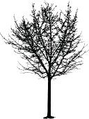 Tree,Bare Tree,Silhouette,Autumn,Winter,Vector,Branch,Back Lit,Twig,Outline,Clip Art,Leaf,Black Color,Ilustration,Isolated,Solitude,Isolated On White,Nature,Plant,Season,Concepts,Ideas,Art,Still Life,Single Object,Full Length,Stem,Copy Space,Tracing,Illustrations And Vector Art,Nature,Winter