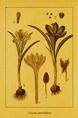 Botany,Crocus,Ilustration,Botanist,Leaf,Flower Head,Image,Illustrations And Vector Art,Nature,Front View,Stem,Midsection,No People,Plants,Image Created 19th Century,Petal,Nature,Close-up