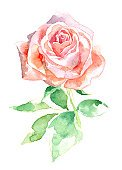 Flower,Rose - Flower,Single Flower,Watercolor Painting,Pink Color,Ilustration,Paintings,Plant,Single Object,Color Image,Design Element,Leaf,Single Rose,Isolated,Painted Image,Decoupage,Postcard,Stem,White Background,Flower Head,Isolated On White,Beautiful,Softness,Julia's Rose,Vertical,Beauty In Nature,Flowers,Holidays And Celebrations,Holiday Backgrounds,Composition,Image,Freshness,Valentine's Day,Voodoo Rose,Nature,No People,Petal