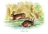 Hare,Old-fashioned,Lagomorphs,Brown Hare,Animal,Painted Image,Wildlife,Non-Urban Scene,Ilustration,Animal Themes,Image Type,Nature,Illustration Technique,Colors,Image,Pawed Mammal,Art And Craft,Mammals,Animals And Pets,Living Organism,Rural Scene,Engraved Image,Color Image,Art,Setting,Animals In The Wild,Wild Animals,The Natural World,Mammal