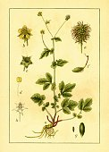 Herb,Ilustration,Botany,Antique,bennet,Old-fashioned,Flower,Victorian Style,avens,Yellow,Close-up,Nature,Stem,Fruit,Image,Front View,Storm,Plants,Geum Urbanum,Colewort,Herb Bennet,Vertical,Plant,Nature,Jacob Sturm,Wood Avens,St Benedict's Herb,Leaf,No People,Jacob,Beauty In Nature,Botanist,Image Created 19th Century