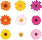 Gerbera Daisy,Daisy,Flower,Vector,Pink Color,Orange Color,Yellow,Chrysanthemum,Chamomile Plant,Magenta,Chamomile,Purple,Red,Flower Head,Plant,White,Summer,Nature,Season,Design Element,Multi Colored,Vibrant Color,Springtime,Isolated On White