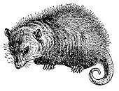 Opossum,Engraving,Line Art,Ilustration,Clip Art,Engraved Image,High Contrast,Image,Retro Revival,No People,Antique,Isolated On White,Image Created 19th Century,White Background,Animal,Classic,Illustrations And Vector Art,Paintings,North America,Close-up,Side View,Studio Shot,Horizontal,Photograph,Victorian Style,Cut Out,Design,Animals And Pets,Old-fashioned,Old,Mammal,Wild Animals,Animals In The Wild,Black And White,Wildlife,Omnivorous