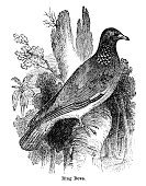 Dove - Bird,Engraving,Print,Antique,Woodcut,Bird,Animal,Image Created 19th Century,Image Created 1880-1889,1882,Ilustration,Common Wood Pigeon,Engraved Image,Old-fashioned,Animals In The Wild,Printed Media,Ring Dove,Line Art,Black And White,Nature,Wildlife