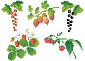 Raspberry Plant,Strawberry,Currant,Raspberry,Plant,Vector,Berry,Black Currant,Cartoon,Black Color,Bush,Branch,Red,Formal Garden,Leaf,Gooseberry,Summer,Red Currant,Food And Drink,Nature,Isolated Objects,Green Color,Crop,Nature,Fruits And Vegetables,Isolated On White,Isolated-Background Objects,Red Background,Berry Fruit,Plants