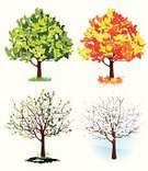 Tree,Season,Autumn,Four Objects,Winter,Symbol,Snow,Maple Tree,Springtime,Oak,Vector,Changing Form,Leaf,Summer,Colors,Branch,Ilustration,Forest,Set,Color Image,Land,Grass,Orange Color,Part Of,autumnally,Plant,Blossom Out,Yellow,Plants,Stem,Illustrations And Vector Art,Nature,Green Color,Nature,Cone,Cold - Termperature,Snowflake