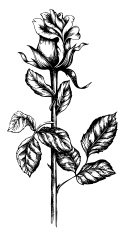 Rose - Flower,Victorian Style,Flower,Drawing - Art Product,Single Flower,Baroque Style,Retro Revival,Old-fashioned,Ink,Ilustration,Sketch,Style,Vector,Decoration,Stem,Drawing - Activity,Leaf,Elegance,Creativity,Obsolete,Isolated Objects,Isolated-Background Objects,Vector Florals,Illustrations And Vector Art,Blossom,Vertical,Isolated,Isolated On White
