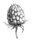 Engraved Image,Raspberry,Leaf,Plant,Ilustration,Botany,Herb,Fruit,Berry,Painted Image,Paintings,White Background,No People,Food,Pencil Drawing,Isolated On White,Nature,Isolated-Background Objects,Isolated,Isolated Objects,Ripe,Grayscale,Black Color,Nature,Sweet Food