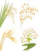 Rice - Cereal Plant,Oat,Buckwheat,Vector,Cereal Plant,Spiked,Isolated,Grass,Leaf,Merchandise,Nature,Growth,Agriculture,White,Food,Branch,Raw Food,Plants,Vector Florals,Nature,Set,Rye,Food And Drink,Illustrations And Vector Art