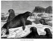 Walrus,Engraved Image,Cold - Temperature,Animal,Arctic,Iceberg - Ice Formation,Animal Themes,Wildlife,Old-fashioned,History,Black And White,Styles,Ice,Animals In The Wild,Tusk,Living Organism,Animals And Pets,Image Created 19th Century,Mammals,Animal Mouth,Animal Teeth,Victorian Style,Animal Attribute,19th Century Style,Atlantic Walrus,Vertebrate,Antique,Sea Life,Ilustration,Pinnipedia,The Past,The Natural World,Aquatic,Aquatic Mammal,Animal Body Part,Old,Nature,Mammal