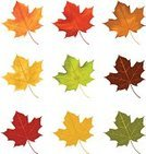 Leaf,Autumn,Maple Leaf,Vector,Isolated,Green Color,Ilustration,Orange Color,Red,Yellow,Brown,Fall,Nature,Illustrations And Vector Art