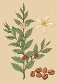 Coffee Crop,Coffee Bean,Plant,Bean,Tree,Flower,coffea,Leaf,Sketch,Ilustration,Green Color,Branch,Beige,Vector Backgrounds,Crop,Vector,Vector Florals,Food Backgrounds,Illustrations And Vector Art,Food And Drink,Grunge,Symbol