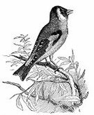 Bird,Ilustration,Retro Revival,Old-fashioned,Engraving,Gold Finch,Black And White,Antique,Animal,Pencil Drawing,Old,Print,Drawing - Art Product,Paper,Sketch,Document,Newspaper,European Culture,Printout,Zoology,Isolated,Science,Painted Image,Engraved Image,carduelis,European Goldfinch,Europe,Victorian Style,Cultures,Obsolete,Nature,Publication,History,Book,Art,Classical Style,Bird Watching,Isolated On White,19th Century Style,Aging Process