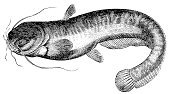 Catfish,wels,Glanis,Ilustration,Silurus,Victorian Style,Retro Revival,History,Old-fashioned,Publication,Painted Image,Cultures,19th Century Style,Document,Zoology,Pencil Drawing,Print,Wels Catfish,Engraved Image,Animal,Sketch,Isolated On White,Black And White,Obsolete,Classical Style,Paper,Old,Aging Process,Printout,Engraving,Art,Science,Fish,sheatfish,Silurus Glanis,Antique,Drawing - Art Product,Isolated,Book,Newspaper,Nature