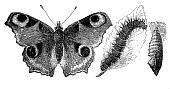 Butterfly - Insect,Cocoon,Change,Caterpillar,Ilustration,Book,Old-fashioned,Retro Revival,Sketch,Engraved Image,Engraving,Peacock,Paper,Document,Animal,History,Larva,Insect,Io,Newspaper,Painted Lady Butterfly,Admiral Butterfly,Printout,Publication,Obsolete,Antique,Aging Process,Art,Worm,Painted Image,Black And White,Drawing - Art Product,Victorian Style,Print,Nature,Old,Pencil Drawing,Science,19th Century Style,Zoology,Peacock Butterfly,european peacock,Europe,Cultures,Isolated,Vanessa,European Culture,Classical Style,Isolated On White