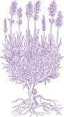 Lavender,Lavender Coloured,Engraved Image,Retro Revival,Plant,Herbal Medicine,Herb,Woodcut,Flower,Ilustration,Root,Nature,Pencil Drawing,Bush,Isolated,Vector,Clip Art,Relaxation,Leaf,Isolated On White,Illustrations And Vector Art,Lavender Bush,Design Element,Nature,Plants,White Background,hand drawn,Flowers