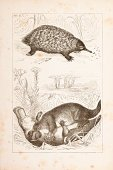 Woodcut,Duck-Billed Platypus,Ilustration,Engraved Image,Australia,Historical Document,Animal,Antique,Short-beaked Echidna,Etching,Painted Image,Zoology,Mammal,Pencil Drawing,Steel Engraving,18th Century Style,Drawing - Art Product,duck bill,Black And White,Old,Print,History,Image Created 18th Century