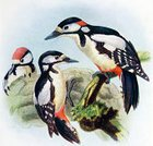 Ilustration,Bird,Drawing - Art Product,Antique,Obsolete,Woodpecker,Male Animal,Young Animal,Arts And Entertainment,Photography,Color Image,Female Animal,Old-fashioned,Great Spotted Woodpecker,Animals And Pets,Birds,Perching,Nature,Old,Wildlife,Victorian Style
