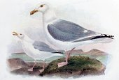 Seagull,Old-fashioned,Ilustration,Antique,Herring Gull,Victorian Style,Photography,Old,Obsolete,Color Image,Bird,Arts And Entertainment,Birds,Animals And Pets,Drawing - Art Product,Nature,Wildlife