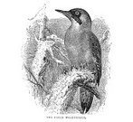 Ilustration,Bird,Black And White,Animals And Pets,Birds,Drawing - Art Product,Arts And Entertainment,Woodpecker,19th Century Style,Photography,Image Created 19th Century,Victorian Style,Nature