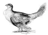 Grouse,Sage Grouse,Bird,Engraved Image,Nature,Gamebird,Animal,Nature,Isolated-Background Objects,Paintings,Animals And Pets,Isolated On White,Grayscale,Isolated Objects,Birds,White Background,Painted Image,Ilustration,One Animal,Pencil Drawing