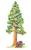 Sequoia,Ilustration,Tree,California,Drawing - Art Product,Biggest,The Americas,Humor,Animals And Pets,Large,Nature,Arts And Entertainment,Sierra,Mammals,Mammoth,Painted Image,Cartoon,General Sherman