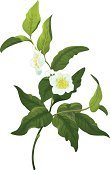Tea Crop,White,Flower,Single Flower,Camellia,Ilustration,Botany,Leaf,Green Color,Branch,Vector,Bud,Plants,Vector Cartoons,Nature,Plant,Nature,Illustrations And Vector Art