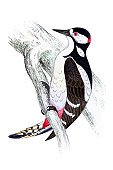 Ilustration,Woodpecker,Great Spotted Woodpecker,Engraved Image,Image Created 19th Century,Print,Antique,19th Century Style,Animals And Pets,Drawing - Art Product,Engraving,Painted Image,Art,Bird,Isolated On White,Birds,Nature,Wildlife,Paintings,Old,Color Image