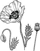 Poppy,Flower,Single Flower,Sketch,Plant Pod,Wildflower,Opium Poppy,Line Art,Vector,Black Color,Drawing - Art Product,White,Plant,Ilustration,Pencil Drawing,White Background,Plants,Uncultivated,Leaf,Nature,Flowers,Bud,Textured,Illustrations And Vector Art,Isolated On White,Nature