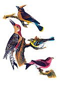 Bird,Old-fashioned,Ilustration,Antique,Nature,Victorian Style,Red Bellied Woodpecker,Cedar Waxwing,Purple Finch,Perching,Cedar Bird,Yellow-throated Flycatcher,Painted Image,Arts And Entertainment,Animals And Pets,Drawing - Art Product,Art,USA,Plate,Nature,Birds,Wildlife,Old,Bird Watching,Engraving,Paintings,Engraved Image