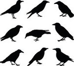 Crow,Raven,Back Lit,Silhouette,Magpie,Bird,Outline,Single Object,Black Color,Crowing,Vector,Halloween,Isolated,Animals In The Wild,Pencil Drawing,Feather,Despair,Bird of Prey,Nature,Spooky,Clip Art,Cartoon,Elegance,Sketch,Wildlife,Ilustration,Gothic Style,Design Element,Wing,Landing - Touching Down,Horror,Ink,Depression - Sadness,Rough,Dark,Drawing - Art Product,Animal,Flying,Drawing - Activity