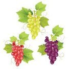 Grape,Vine,Bunch,Vineyard,Design,Majestic,Red,Aristocratically,Purple,Invitation,Engraved Image,Leaf,Isolated,Decor,Alcohol,Fruit,Green Color